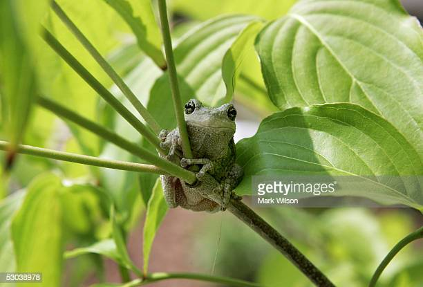 Tree frog sits on a branch June 8, 2005 in Owings, Maryland. The state of Maryland is home to several species of frogs each of which have their own...