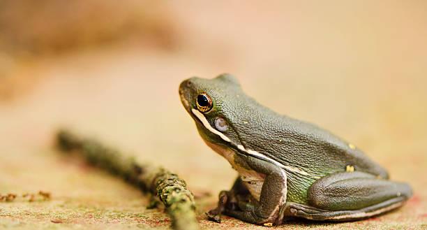 Tree frog sitting beside stick on dirt road