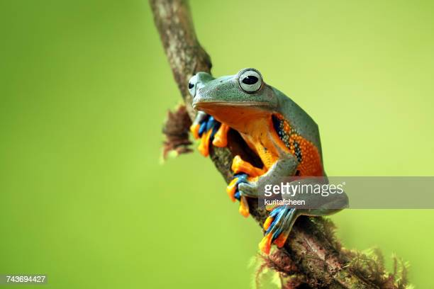 tree frog sitting on a branch, indonesia - tree frog stock pictures, royalty-free photos & images
