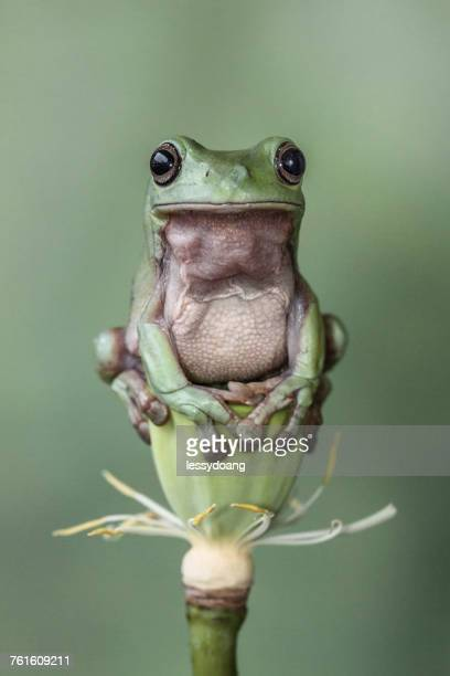 tree frog sitting on a lotus flower - water lily stock photos and pictures