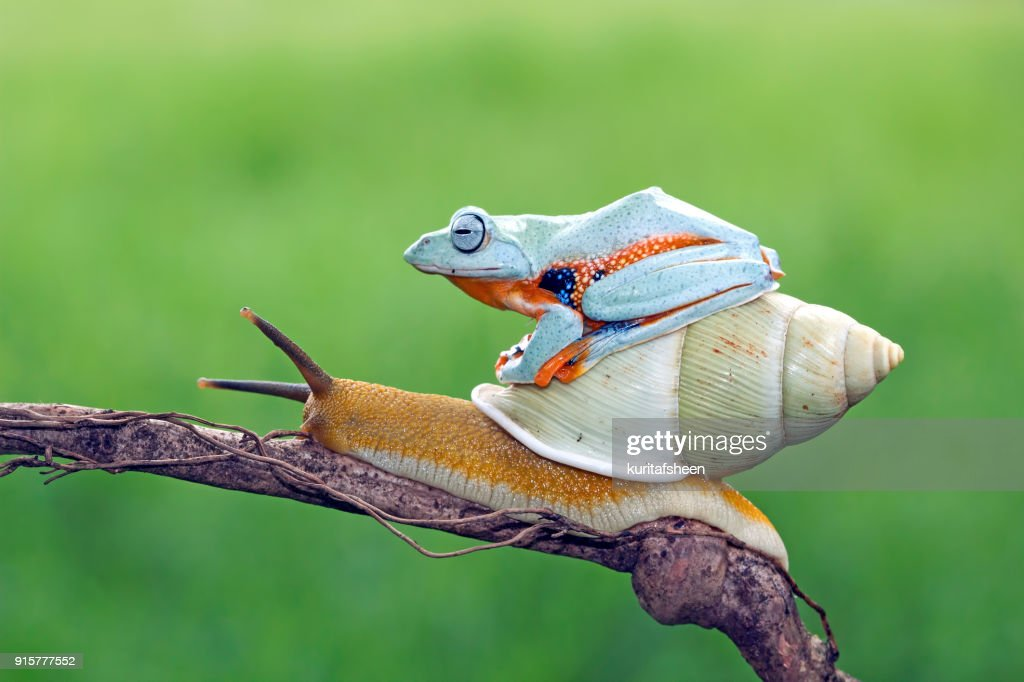Tree frog sitting on a snail : Stock Photo