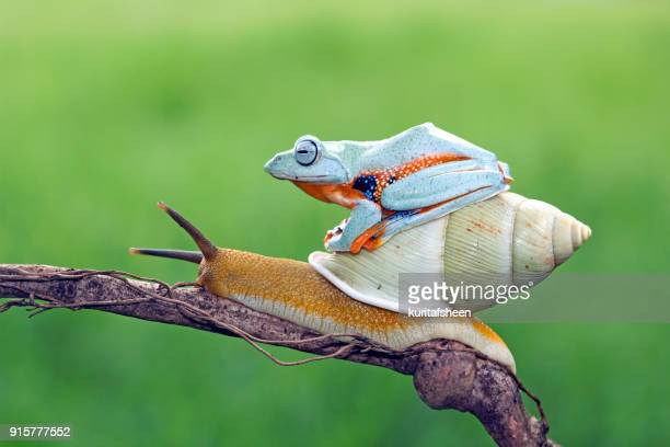 tree frog sitting on a snail - snail stock photos and pictures