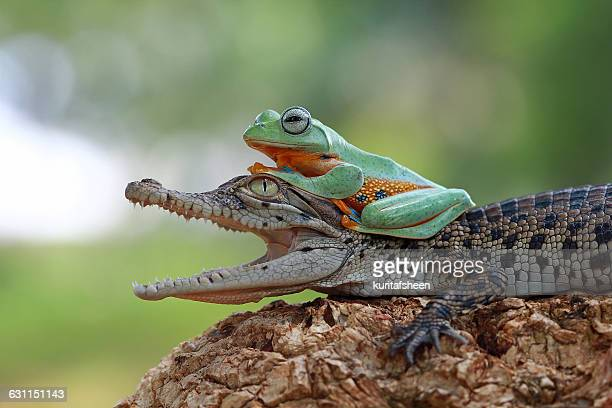 tree frog sitting on  crocodile - crocodile stock pictures, royalty-free photos & images