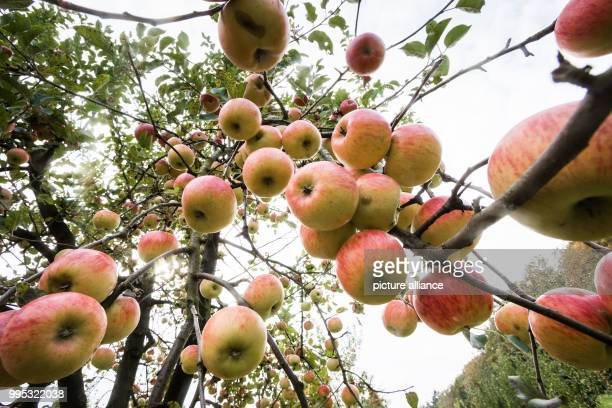 Atree full of apples can be seen on Lohrberg hill in Frankfurt/Main Germany 24 September 2017 The apple harvest in Hesse is marbled due to the frost...