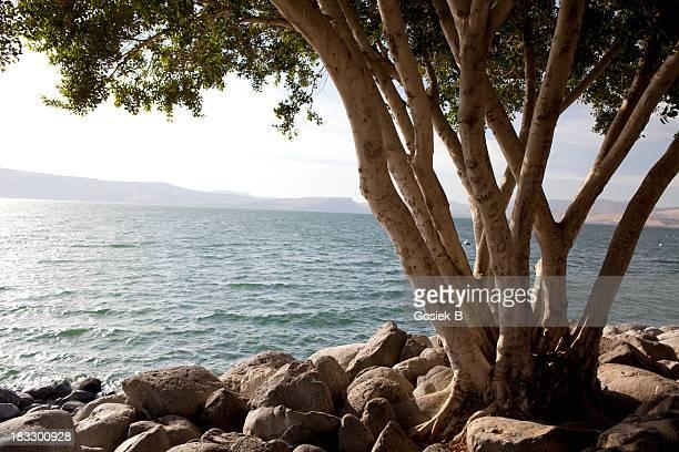 Tree, Galillee