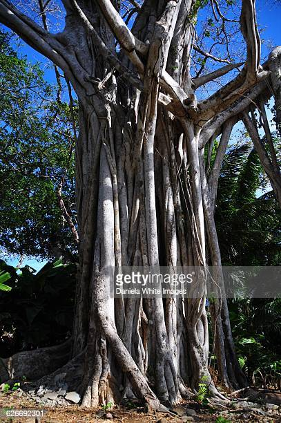 tree gazing  - banyan tree stock photos and pictures