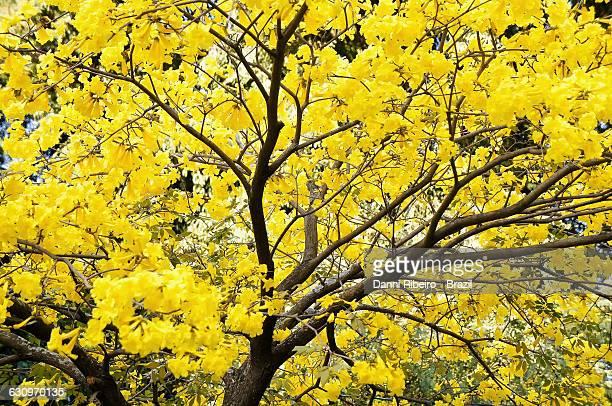 tree gazing  - ハンドロアンサス属 ストックフォトと画像