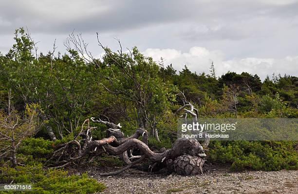 tree gazing  - gotland bildbanksfoton och bilder