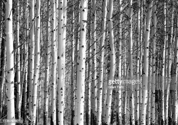 tree grove of birch trees. - image stock pictures, royalty-free photos & images