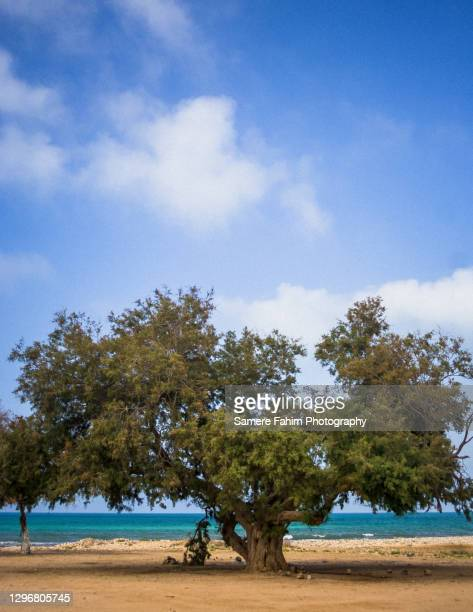 a tree grow near a beach against a clear sky - 2007 stock pictures, royalty-free photos & images