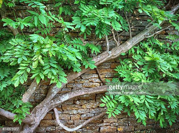 Tree Growing Against Wall
