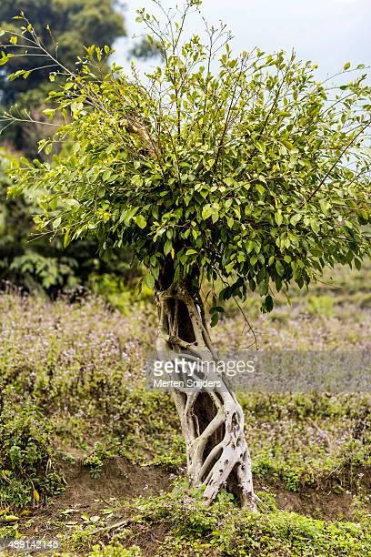 tree growing exoskeleton roots - merten snijders stockfoto's en -beelden