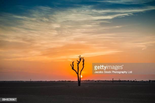 Tree growing in desert at sunset