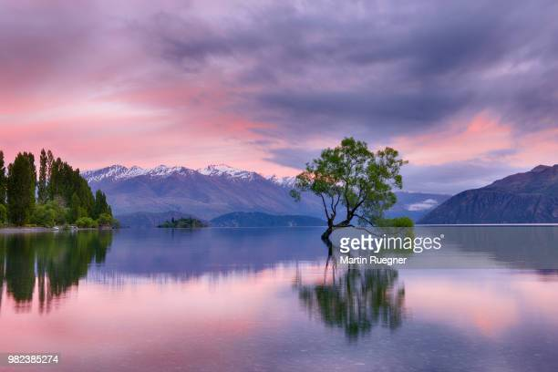 tree growing in lake wanaka with snowcapped mountains in background and dramatic clouds at sunrise dawn. wanaka, lake wanaka, queenstown-lakes district, otago region, south island, new zealand. - wanaka - fotografias e filmes do acervo