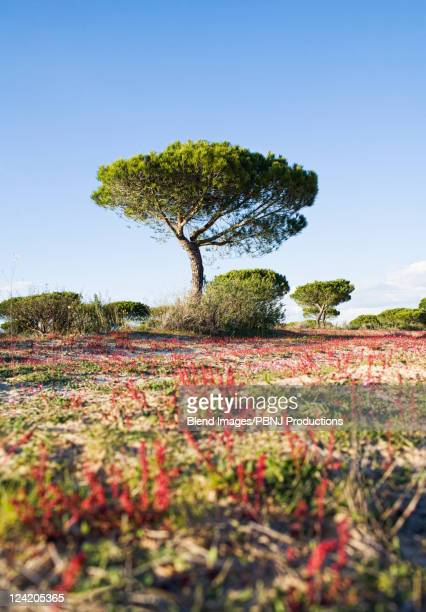 tree growing in remote field - donana national park stock photos and pictures