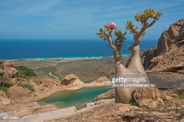 Tree growing in rocky landscape overlooking ocean, Homhil Protected Area, Socotra, Yemen