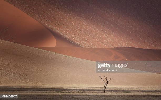 tree growing in sand dunes in desert landscape - sossusvlei stockfoto's en -beelden