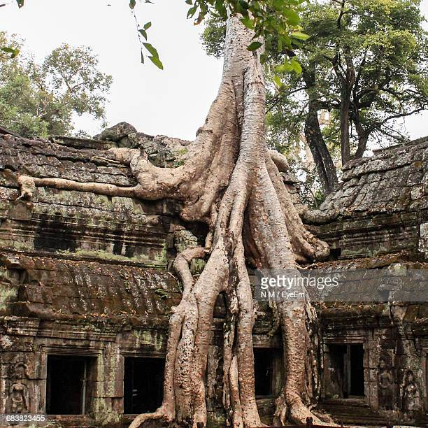 Tree Growing On Angkor Wat
