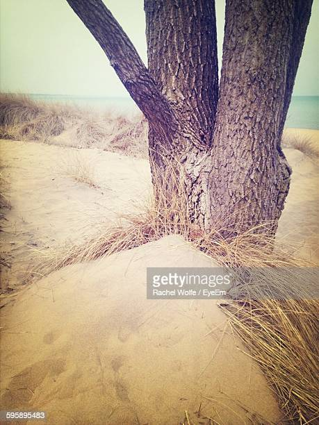 tree growing on beach - rachel wolfe stock photos and pictures