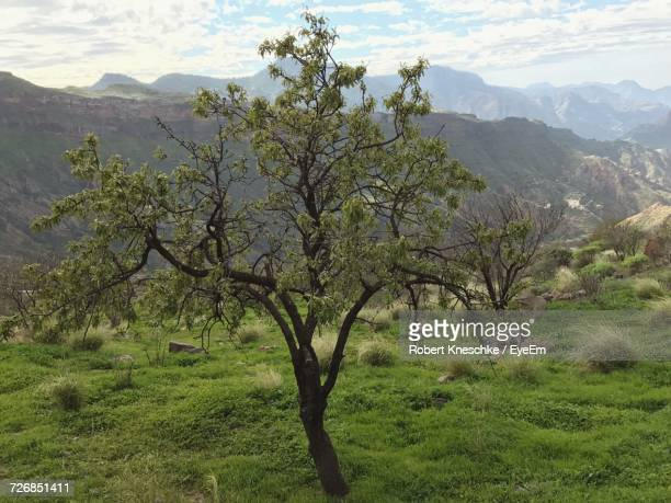 tree growing on grassy field against mountains - tejeda canary islands stock pictures, royalty-free photos & images