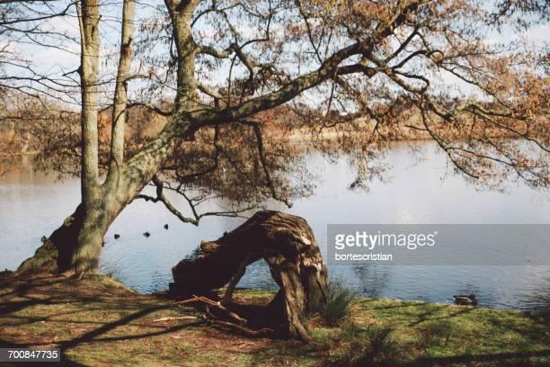 tree growing on lakeshore - bortes foto e immagini stock