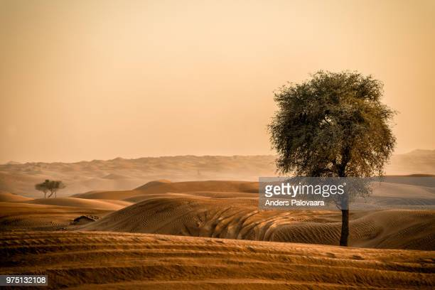 Tree growing on sandy desert, Dubai, United Arab Emirates