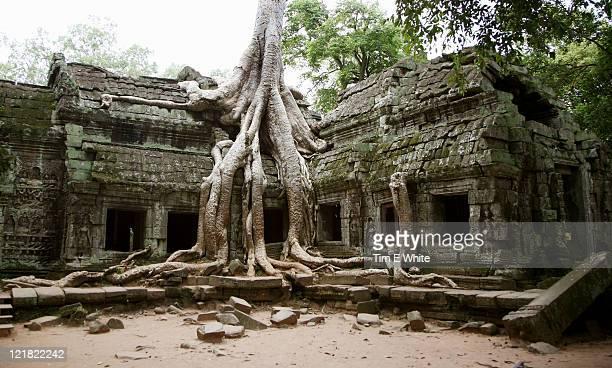 tree growing over ruins, ta prohm, angkor wat, cambodia - アンコールワット ストックフォトと画像