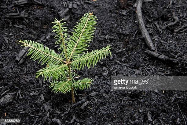 Árbol que crece después de incendio forestal