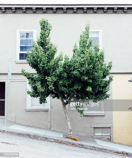 a tree grows in san francisco - san francisco california stock pictures, royalty-free photos & images