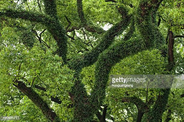 A tree grows in subtropical old camphor tree