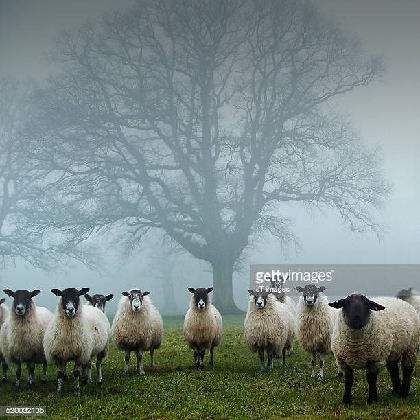 tree guardians - flock of sheep stock photos and pictures