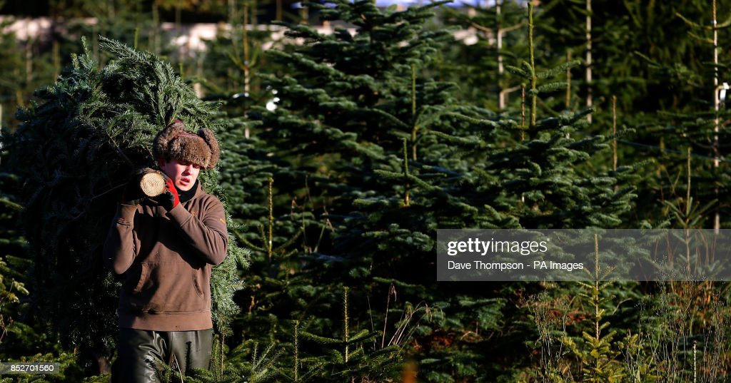 tree harvester devon audus moves a evergreen conifer tree traditionally used as a christmas tree - Christmas Tree Farms For Sale