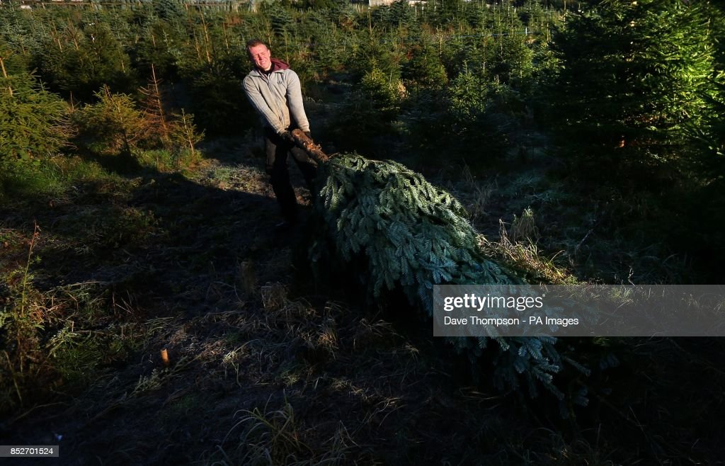 tree harvester jamie howard moves an evergreen conifer tree traditionally used as a christmas tree - Christmas Tree Farms For Sale