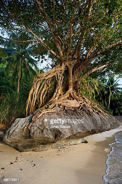 EL NIDO PALAWAN PHILIPPINES A tree has taken root over a stone on a beach in El Nido archipelago
