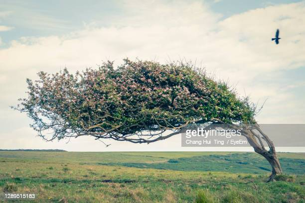 a tree heavily bent over like it is perpetually in a storm - tree stock pictures, royalty-free photos & images