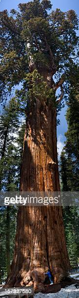Tree Hugger: General Sherman Sequoia panorama