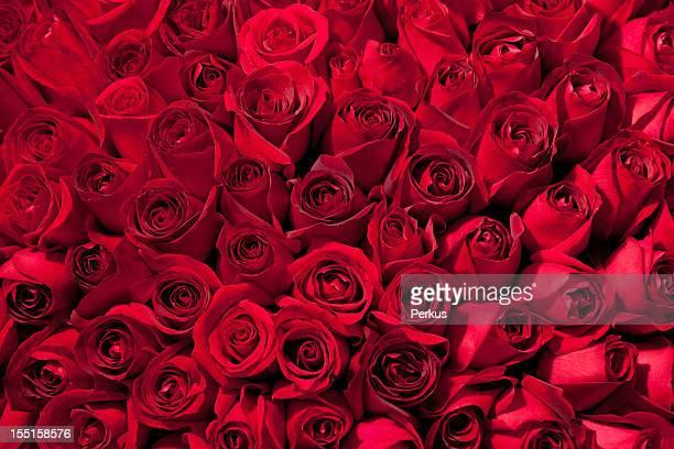 tree hundred roses
