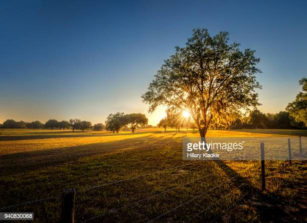 tree in a field at sunset - southern usa stock pictures, royalty-free photos & images