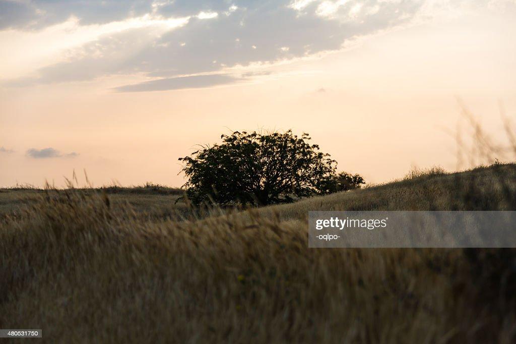 Baum in einem Feld : Stock-Foto