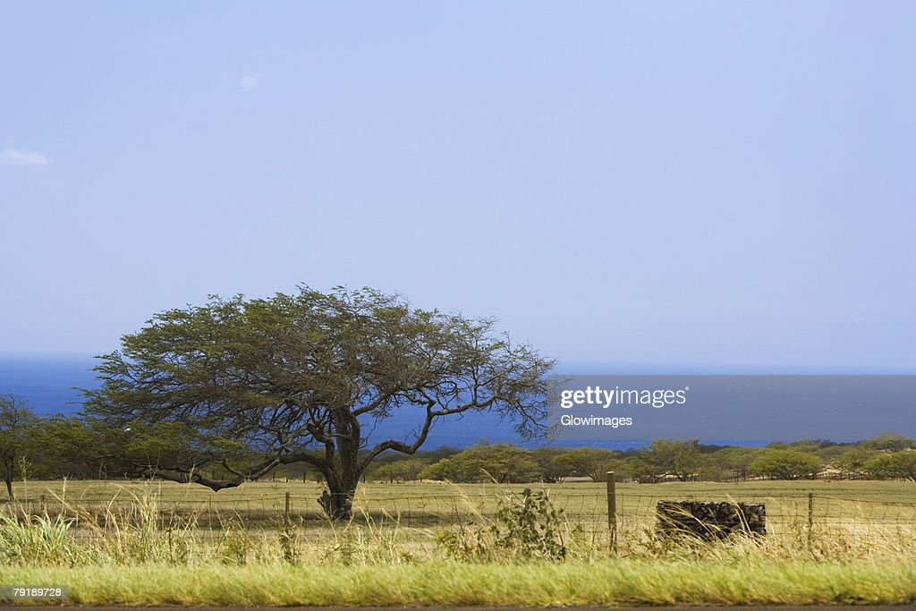 Tree in a field, Pololu Valley, Kohala, Big Island, Hawaii Islands, USA : Stock Photo