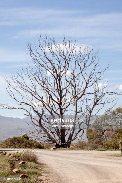 tree in a national park in south africa, along the garden route - claire plumridge stock pictures, royalty-free photos & images