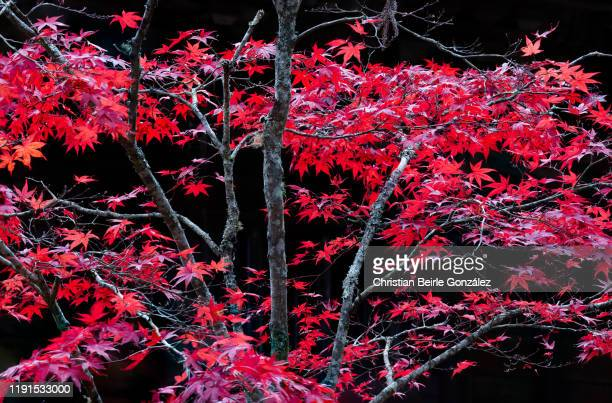 tree in autumn colors in koyasan - japan - christian beirle stock pictures, royalty-free photos & images