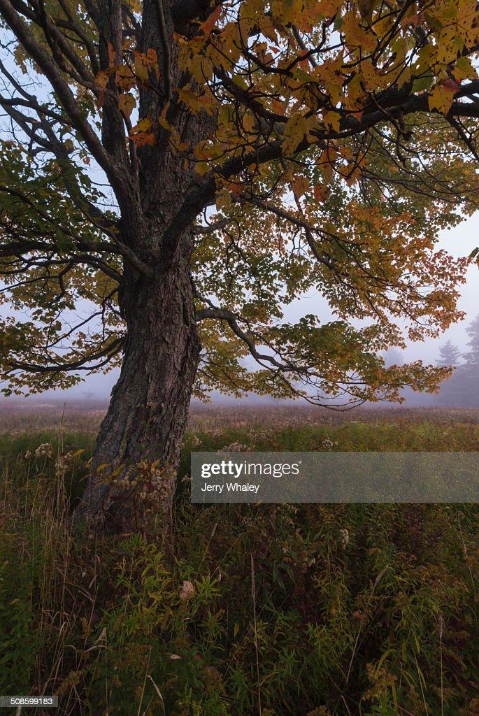 Tree in Canaan Valley, WV : Foto de stock