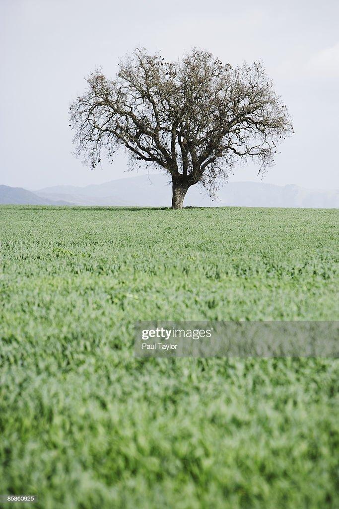 Tree in field : Stock-Foto