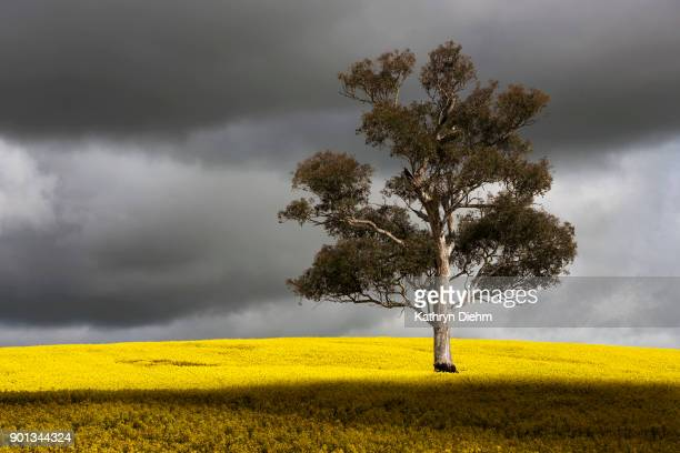 Surrounded By Canoloa Feilds Quotes: Australian Crops Stock Photos And Pictures