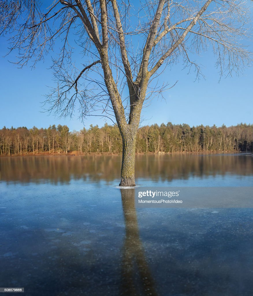 Tree in Flooded Frozen Lake : Stock Photo
