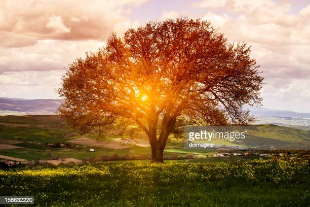 Tree in Flower Field, Spring Sunrise