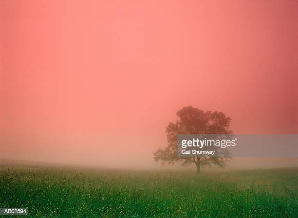 tree in foggy field, sunrise - cades cove stock pictures, royalty-free photos & images