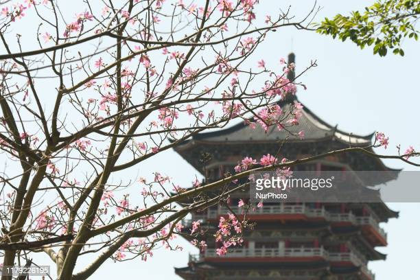 A tree in late October blossoms seen in the center of Qinzhou On Friday October 18 in Qinzhou Guangxi Region China