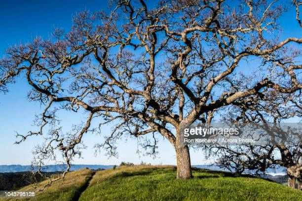 tree in meadow against clear blue sky in henry w. coe state park - koeberer stock photos and pictures